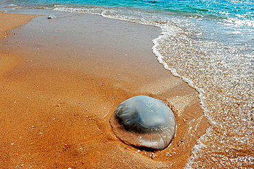 A large dead jellyfish lies on the shore of a beach