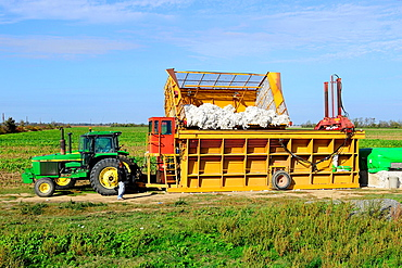 Harvested Cotton Pressed and Baled Mississippi