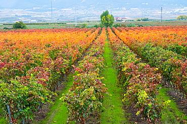 Vineyard in autumn. Haro, La Rioja province, Spain.