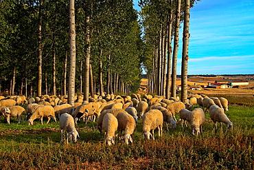 Flock sheep near Benavente, Castile and Leon, Spain
