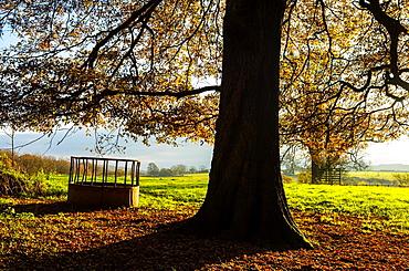 A Feeding Trough under an Oak tree in autumn in rural North Somerset, England