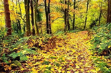 Footpath through woodland in autumn  Prior¥s Wood, Portbury, North Somerset, England