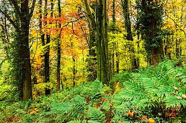 Prior¥s Wood in autumn, Portbury, North Somerset, England