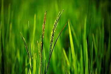 Rice paddy, close-up