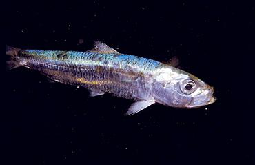 European Pilchard (Sardina pilchardus), Ria of Vigo, Pontevedra province, Galicia, Spain