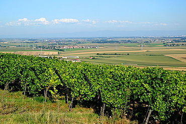 Vineyard on Marlenberg hillside with panorama on Alsace plain to Strasbourg, Marlenheim, Bas Rhin, Alsace, France