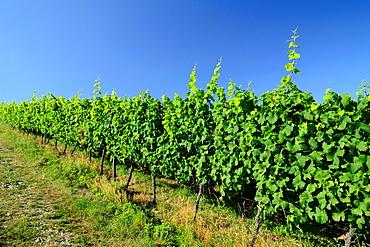 Vineyard on Marlenberg hillside, Marlenheim, Bas Rhin, Alsace, France