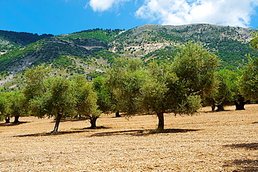 Some of the Olive Trees that cover 55 of Kefalonia, Ionian Islands, Greece