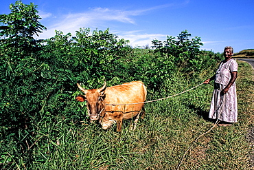 Indian Woman with Cow on the Coral Coast in the Fiji Islands