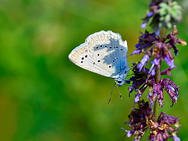 Meleageria daphnis, Meleager's Blue, Greece - 817-411743