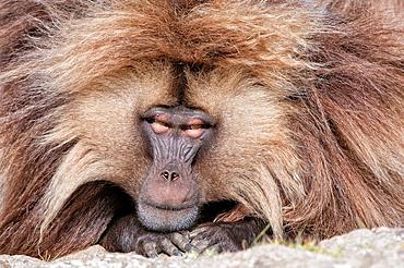Gelada baboon Theropithecus Gelada, Simien mountains national park, Amhara region, North Ethiopia