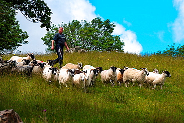 Sheep herding on the edge of the village of Carrick in south Donegal, Republic of Ireland