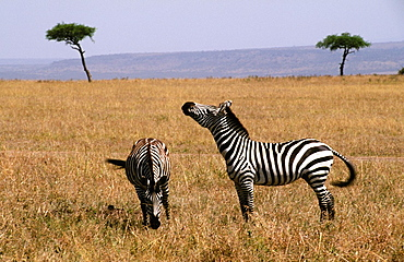Safari in Kenya Africa with wild zebra roaming the jungle