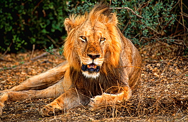 Big male lion ready to hunt for food in Maasai area in jungle of Kenya Africa King of the jungle