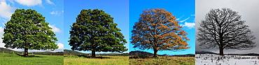 Digital Composite of four seasons of a Single Sycamore Maple Tree on meadow, Sumava National Park, Bohemia, Czech Republic, Europe