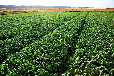 Spinach growing fields, Agricultural fields, High Ribera, Arga-Aragon Ribera, Navarre, Spain.