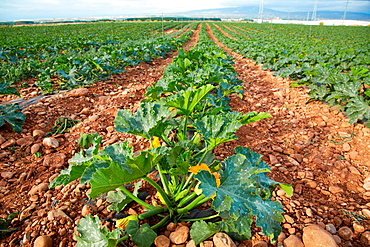 Courgette growing fields, Agricultural fields, High Ribera, Arga-Aragon Ribera, Navarre, Spain.
