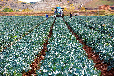Broccoli growing fields, Agricultural fields, High Ribera, Arga-Aragon Ribera, Navarre, Spain.