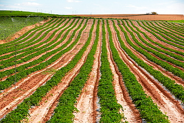 Tomato growing field, Agricultural fields, High Ribera, Arga-Aragon Ribera, Navarre, Spain.