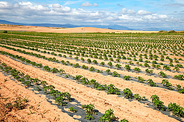Pepper growing fields, Agricultural fields, High Ribera, Arga-Aragon Ribera, Navarre, Spain.