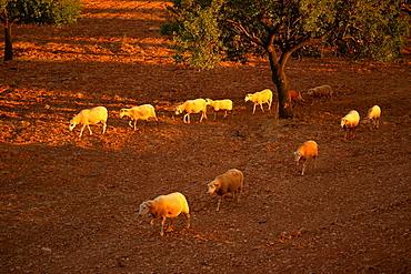 Flock of sheep, Son Sardina, Palma, Mallorca Balearic Islands Spain