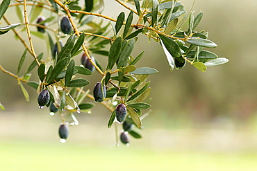 Olive, Alqueria d¥Avall, Bunyola, Tramuntana Majorca Balearic Islands Spain