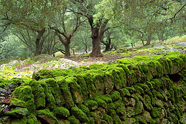 oaks, Son Perot, Orient Valley, Bunyola, Sierra de Tramuntana, Mallorca, Balearic Islands, Spain