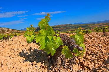 Montilla, Vineyards, Montilla- Moriles area, Cordoba province, Andalusia, Spain.