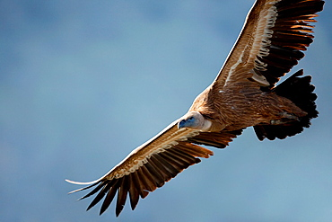 Griffon vulture Gyps fulvus flying in Monfrague National Park Caceres Spain