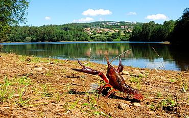 American Crayfish Procambarus clarkii