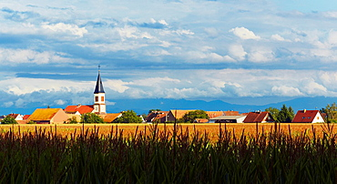 Bischwihr village through a maize field, Alsace, Haut-Rhin, France