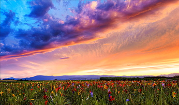 Gladiolus field, Alsace, Haut-Rhin, France