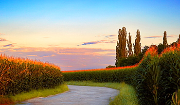 Road through maize fields, Horbourg-Wihr, Alsace, Haut-Rhin, France