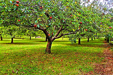 Apple tress, Asturias, Spain