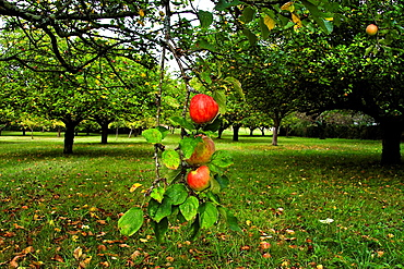 Reds apples on a tree, Asturias, Spain