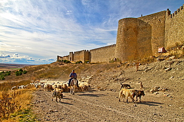 Flock sheep, dogs, and Shepherd riding a donkey, near castle wall Uruena, Castile and Leon, Spain