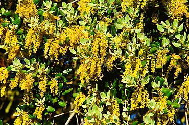 Holm Oak (Quercus ilex) flowers Almansa Albacete.