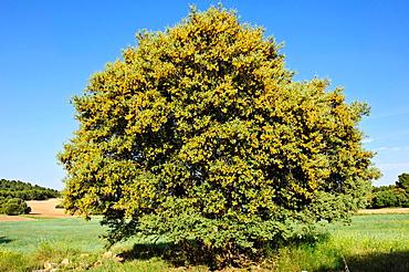 Flowering Holm Oak (Quercus ilex) Almansa Albacete.