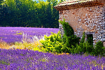Blooming field of Lavender Lavandula angustifolia near of St-Christol and Sault, Vaucluse, Provence-Alpes-Cote dAzur, Southern France, France, Europe