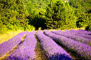 Blooming field of Lavender Lavandula angustifolia around Sault and Aurel, in the Chemin des Lavandes, Provence-Alpes-Cote dAzur, Southern France, France, Europe