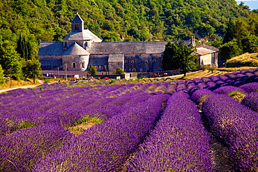 Blooming field of Lavender Lavandula angustifolia in front of Senanque Abbey, Gordes, Vaucluse, Provence-Alpes-Cote dAzur, Southern France, France, Europe