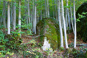 Detail of chesnut forest near Montemayor del Rio in Sierra de Bejar, Salamanca province Castilla y Leon Spain
