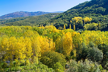 Chesnut and poplar forest in autumn near Montemayor del Rio in Sierra de Bejar, Salamanca province Castilla y Leon Spain