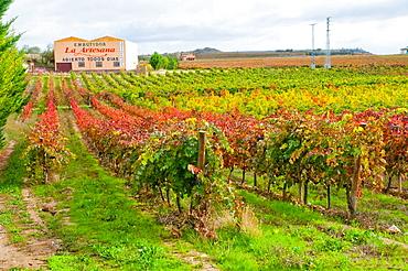 Vineyard in autumn. Briones, La Rioja, Spain.