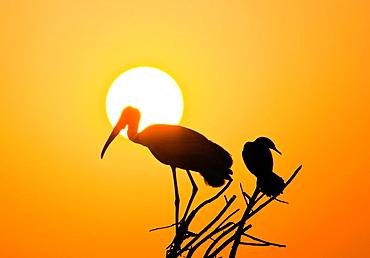 Painted Stork Keoladeo Ghana National Park previously Bharatpur Bird Sanctuary Bharatpur Rajasthan India