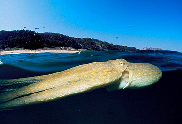 Octopus (Octopus vulgaris), Ria of Vigo, Pontevedra province, Galicia, Spain