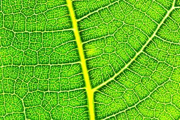 Fig leaf Almansa Albacete.