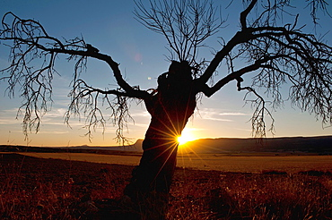 Dry almond tree al sunset Almansa Albacete.