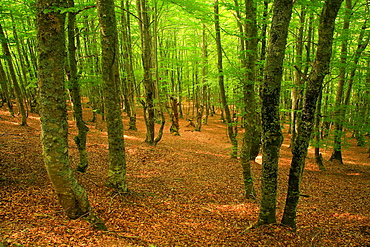 Beech forest in Soto de Sajambre  National Park Picos de Europa