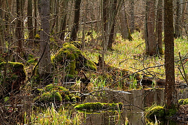 Early spring in Bialowieza National Park Poland